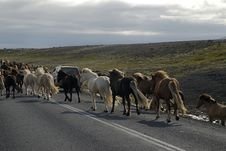Free Icelandic Horses Passing The Road Stock Image - 1402881