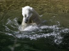 Free Bear In The Water Royalty Free Stock Image - 1402886