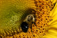 Free Bee And Sunflower Stock Images - 1402924