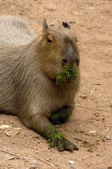 Free Giant Rat Stock Image - 1403381
