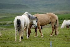 Free Icelandic Horses Nestling To Each Other Stock Photos - 1404393