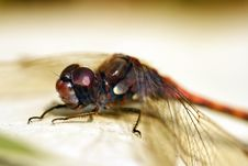 Free Dragonfly Royalty Free Stock Photos - 1404768