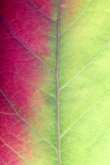 Free Close Up Of A Red-green Leaf Stock Photography - 1404802