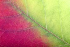 Free Close Up Of A Red-green Leaf Royalty Free Stock Photography - 1404807