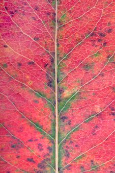Free Close Up Of A Red-green Leaf Stock Photo - 1404810