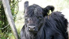 Free Galloway Cow 3 Royalty Free Stock Photography - 1407367