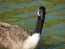 Free Goose In The Water Royalty Free Stock Image - 1407386