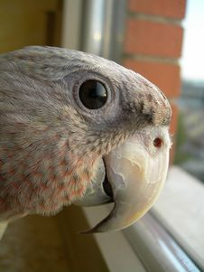 Free Parrot Royalty Free Stock Image - 1409396