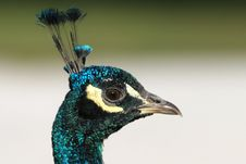 Free Peacock Stock Photos - 1409463