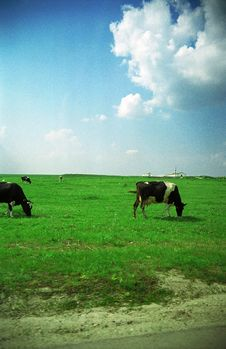 Free Cows Grazing Royalty Free Stock Images - 1409919