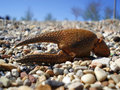 Free Crab Claw Royalty Free Stock Photo - 14001445