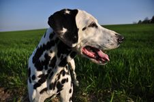 Free Portrait Of A Dalmatian Royalty Free Stock Photos - 14000348