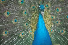 Free Peacock Royalty Free Stock Image - 14000886