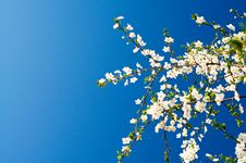 Free Beautiful Plum Tree Blossom. Stock Image - 14000941