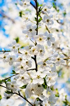 Beautiful Cherry Branch Blossom. Royalty Free Stock Images