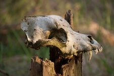 Free Skull Of A Dog Stock Image - 14001001