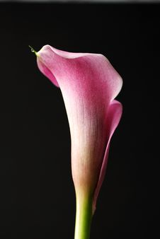Free Calla Lily Flower Royalty Free Stock Photography - 14001017