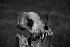 Free Skull Royalty Free Stock Images - 14001019
