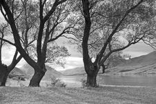 Free Trees At Lake Ohau, New Zealand (mono) Royalty Free Stock Photo - 14001455
