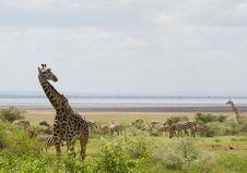 Free Giraffe Royalty Free Stock Photos - 14001698