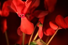 Free Cyclamen Flowers Stock Image - 14001801