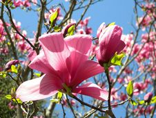 Free Blooming Tulip Tree Royalty Free Stock Images - 14002519