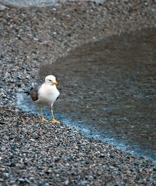 Free Seagull Walking Stock Photos - 14002533