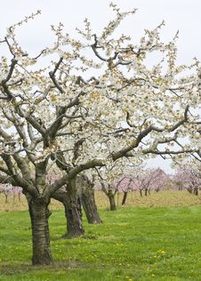 Free Apple And Cherry Orchards In Spring Royalty Free Stock Image - 14002686