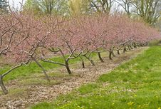 Cherry Orchards In The Spring Royalty Free Stock Image