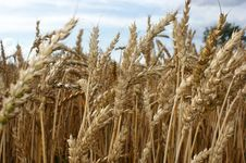 Wheat During Ripening Royalty Free Stock Photos