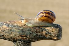 Free Garden Snail Stock Images - 14004954