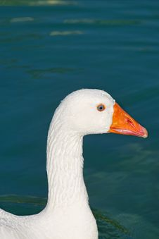 Free Goose Stock Images - 14004964