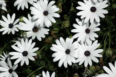 Free Field Of Daisies Stock Photography - 14005362