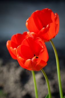 Free Tulips Royalty Free Stock Photography - 14005637