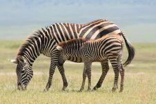 AfricaTanzania  Ngorongoro Crater Zebras Stock Images