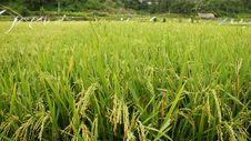 Free Rice Field Royalty Free Stock Photo - 14006265