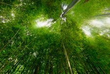 Free Lush Bamboo Forest Royalty Free Stock Photos - 14006358