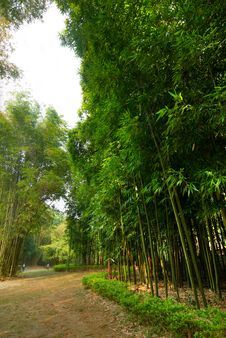 Free Lush Bamboo Forest Royalty Free Stock Photo - 14006555