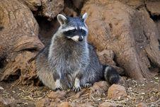 Free Raccoon Royalty Free Stock Photos - 14007228