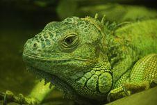 Free Big Iguana Stock Image - 14007271