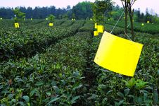 Free Green Tea Royalty Free Stock Images - 14008659