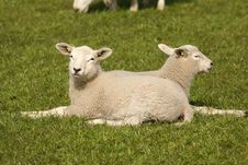 Two Little Lambs Laying In The Grass Stock Photo