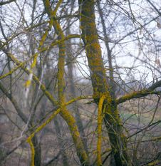 Free Branches Of Trees With Lichen And Moss. Stock Photo - 14009740