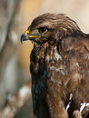 Free Buzzard Royalty Free Stock Images - 14011709