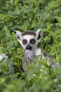 Free Ring-tailed Lemur Stock Image - 14011871