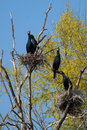 Free Great Cormorant Colony Stock Photos - 14014023