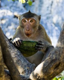 Free Monkey And Watermelon Stock Images - 14010274