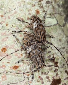 White-clouded Longhorn Beetle (Mesosa Nebulosa) Stock Photo