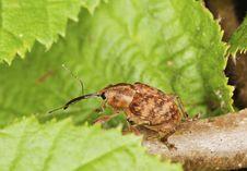 Free Hazelnut Weevil (Curculia Nucum) Stock Photo - 14011650