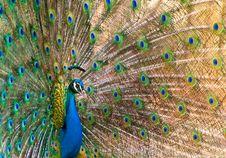 Free Peacock Stock Photo - 14011730